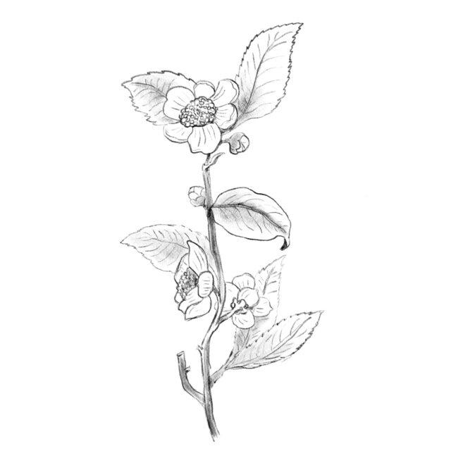 Ilustración planta del te